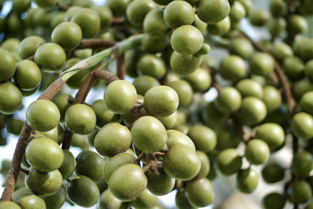 fruit, green color, growth, food and drink, day, healthy eating, olive, freshness, outdoors, unripe, no people, food, leaf, agriculture, tree, close-up, olive tree, nature, black olive