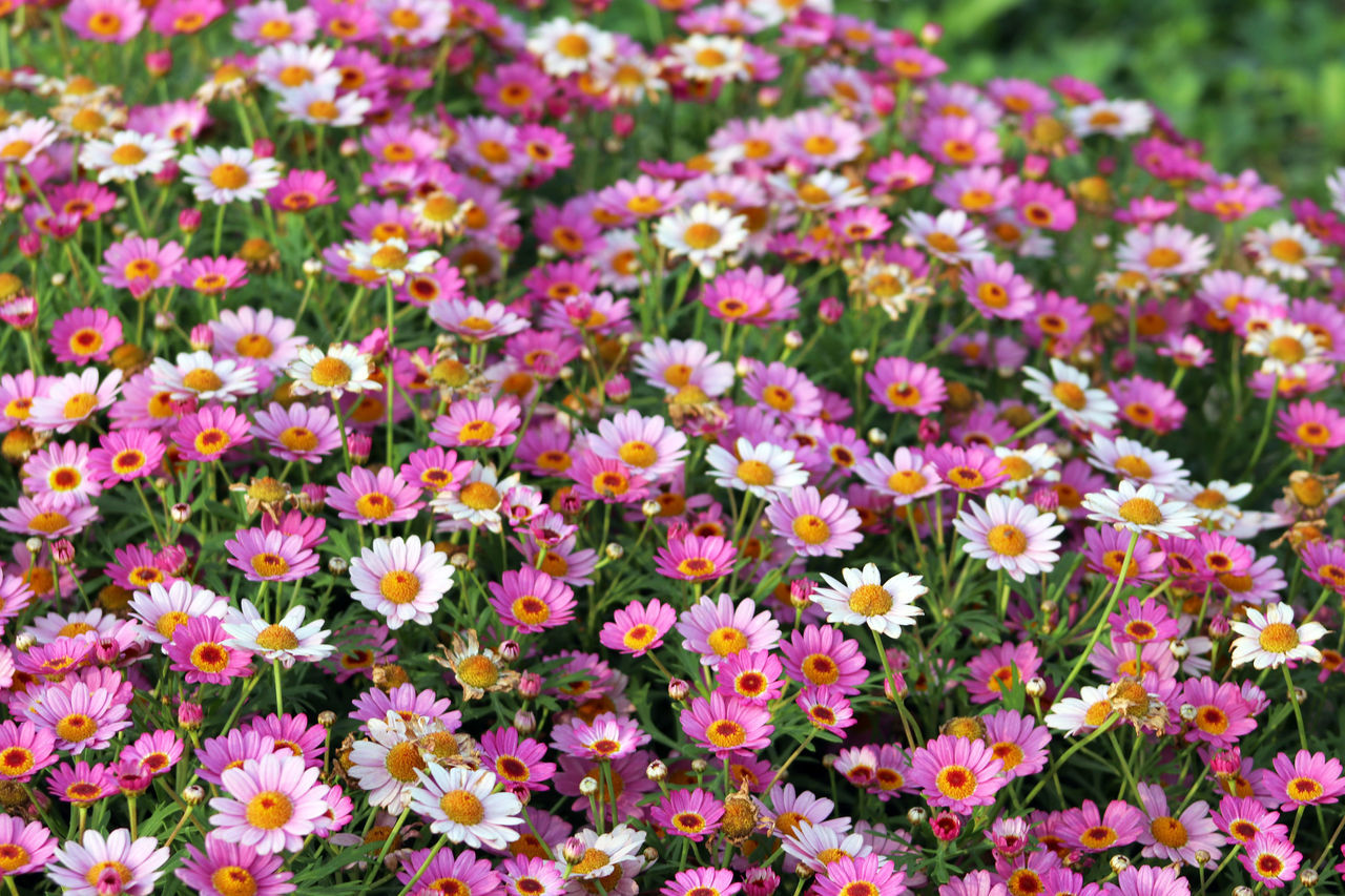 Margaret Beauty In Nature Blooming Close-up Day Flower Flower Head Flowers, Flower, Field, Spring, Beautiful, Nature, Background, Plant, Green, Summer, Garden, Floral, Landscape, Fresh, Nobody, Day, Blossom, Scenic, Beauty, Natural, Colorful, Bright Fragility Freshness Growth Nature No People Outdoors Petal Plant