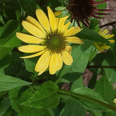Yellow as the sun Flower Leaf Petal Fragility Growth Freshness Flower Head Nature Plant Yellow Beauty In Nature Green Color Day Outdoors Close-up No People Blooming North Carolina Day Tripping Love Where You Live Blossom Summer Freshness Growth Beauty In Nature