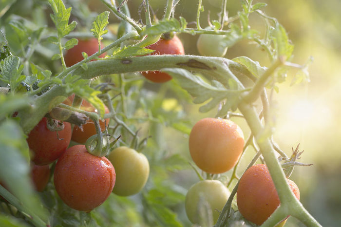 tomatoes growing in vegetable garden The Week On EyeEm Agriculture Beauty In Nature Branch Close-up Day Drop Flare Food Food And Drink Freshness Fruit Growing Growth Healthy Eating Nature No People Outdoors Red Tomato Tomato Plant Vegetable Vegetable Garden