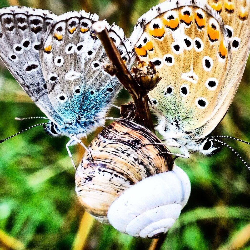 Nature Focus On Foreground Close-up Day No People Outdoors Beauty In Nature Insect Animals In The Wild Animal Themes Fragility Plant Growth Butterfly - Insect Butterfly Grass Snail Mating Two Butterflies Colourful Colourful Nature EyeEmNewHere
