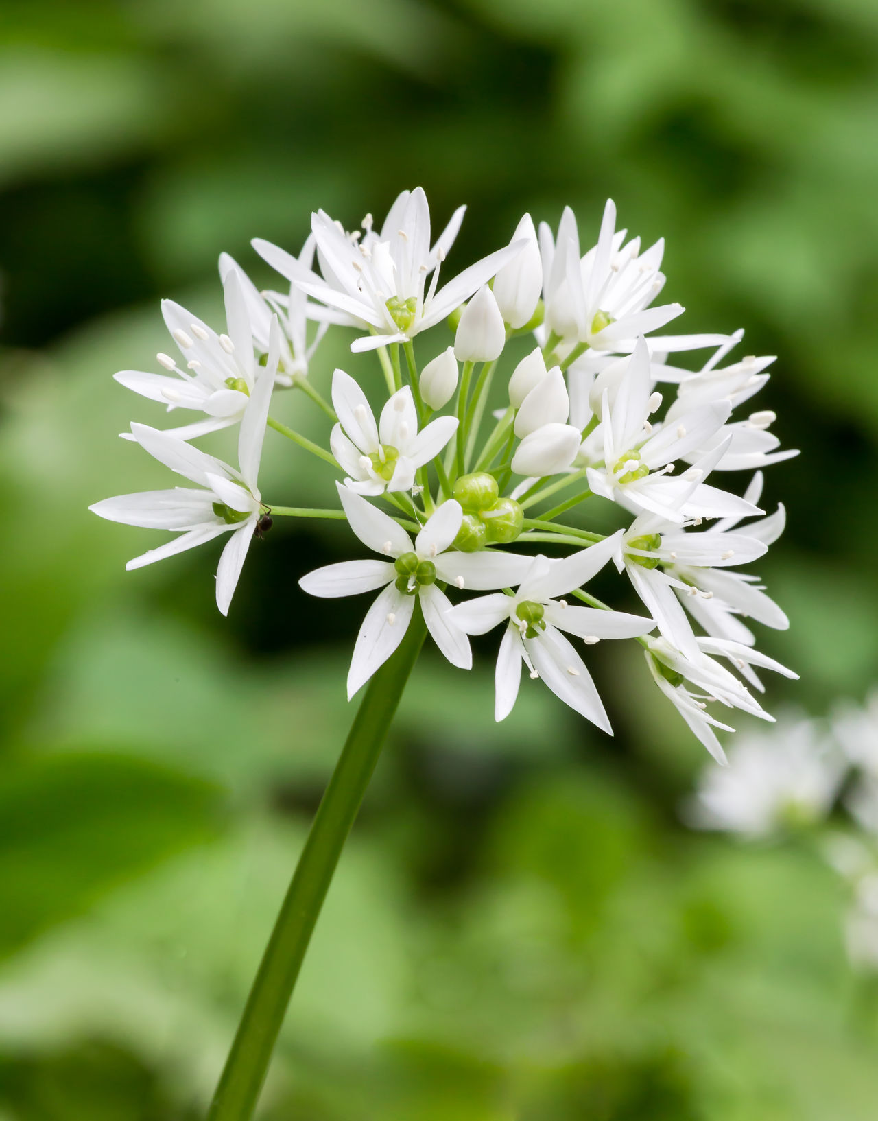 Wild Garlic Flower Beauty In Nature Blooming Close-up Day Flower Flower Head Focus On Foreground Fragility Freshness Garlic Green Color Growth Nature No People Outdoors Petal Plant White Color