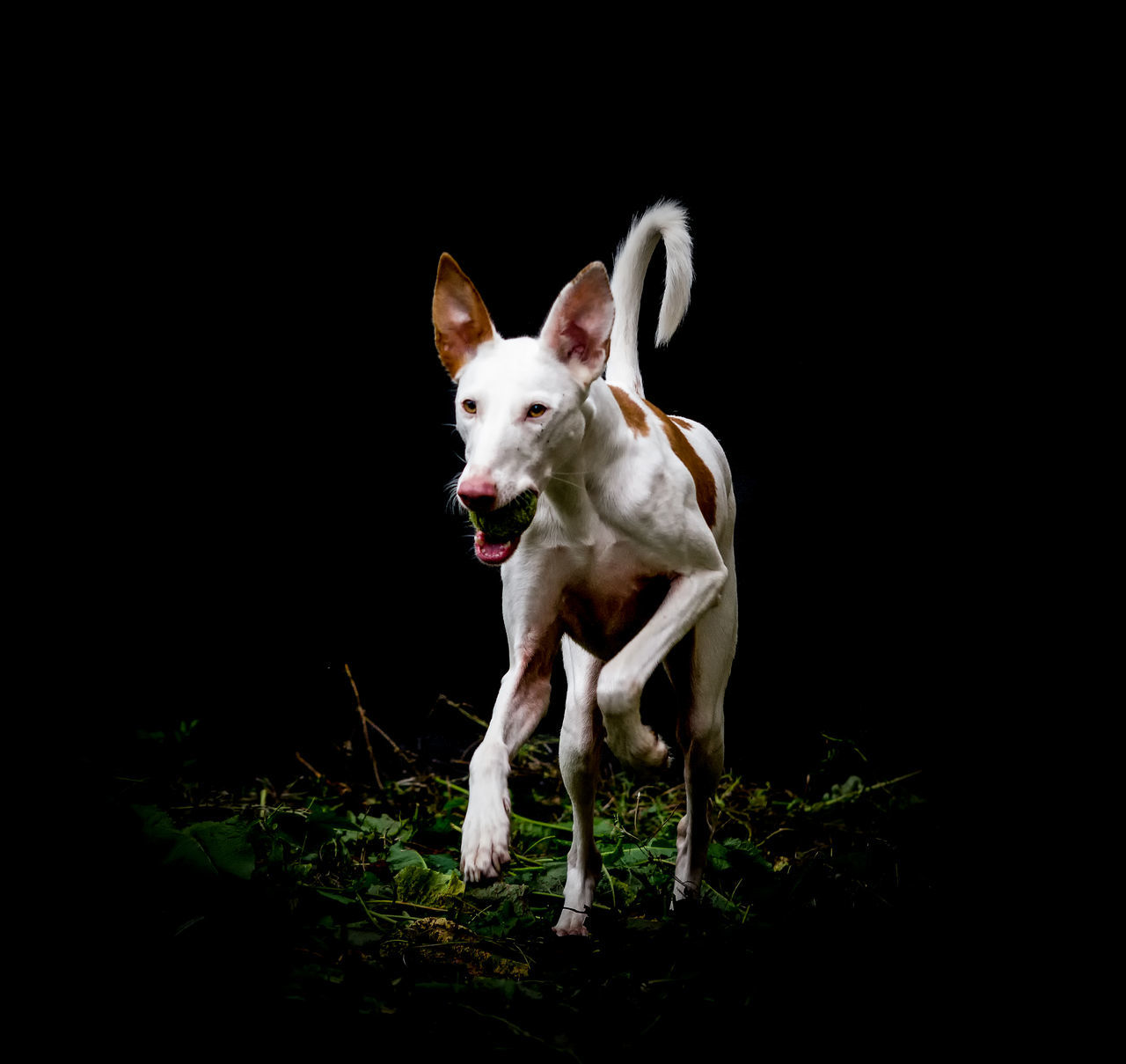 Animal Animal Behavior Animal Themes Curiosity Dog Domestic Animals Front View Full Length Ibizan Hound Loyalty Mammal One Animal Pampered Pets Pets Podenco Ibicenco Spain♥ Spanish Food Standing