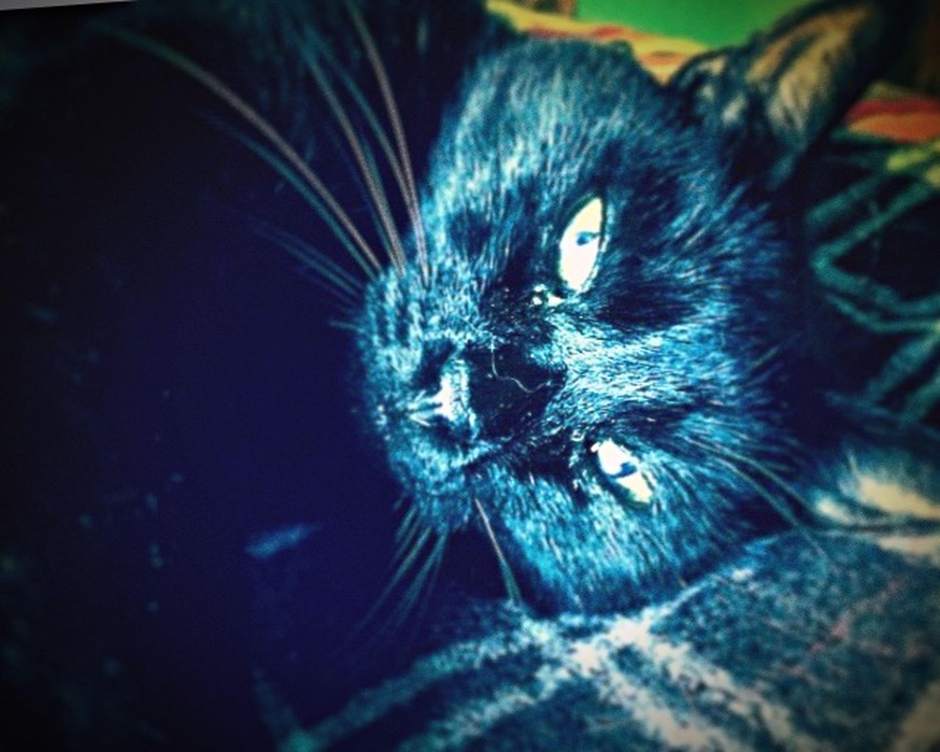 Pets Corner Petlove  Cats Cat♡ BLackCat Cat Lovers BlackBeauty Me Gusto Panther Gato