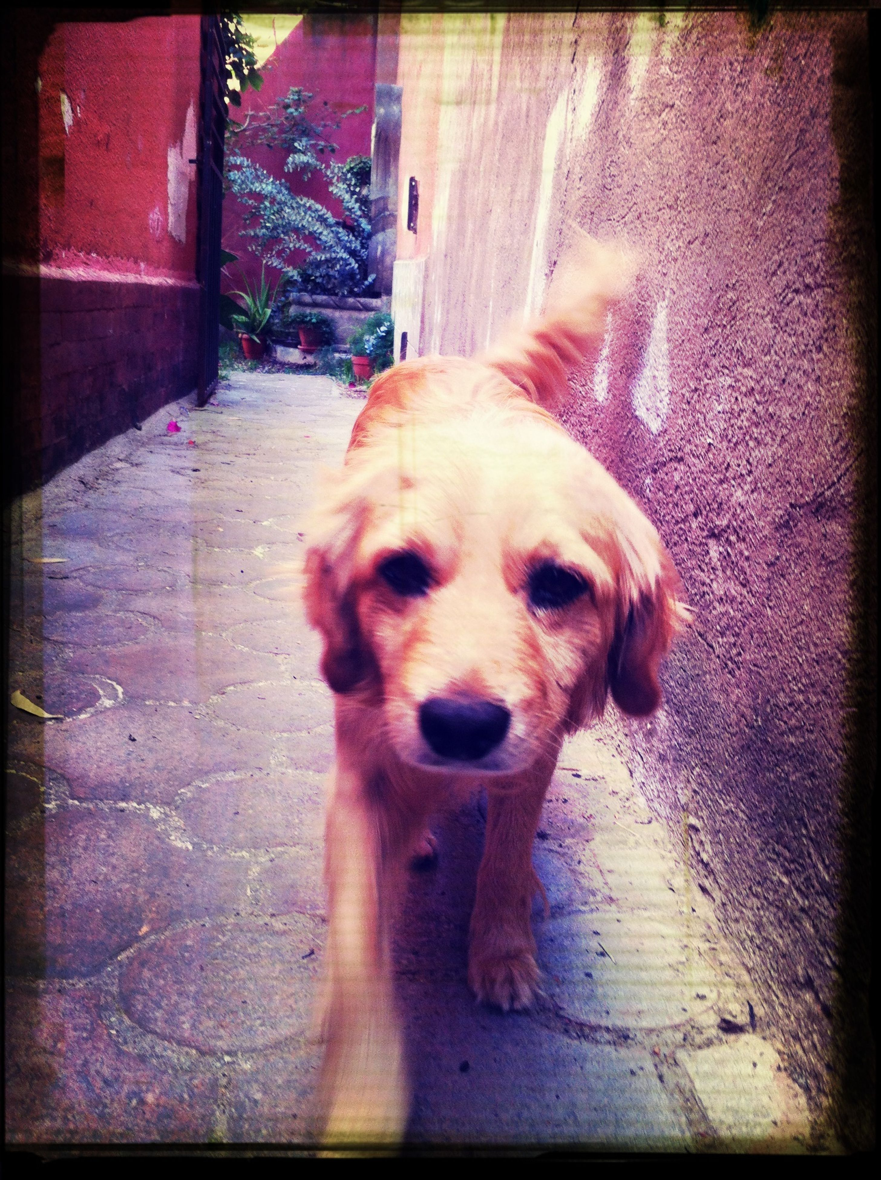 dog, pets, domestic animals, mammal, one animal, animal themes, transfer print, auto post production filter, sidewalk, portrait, street, looking at camera, day, outdoors, pet collar, full length, no people, footpath, sunlight, pet leash