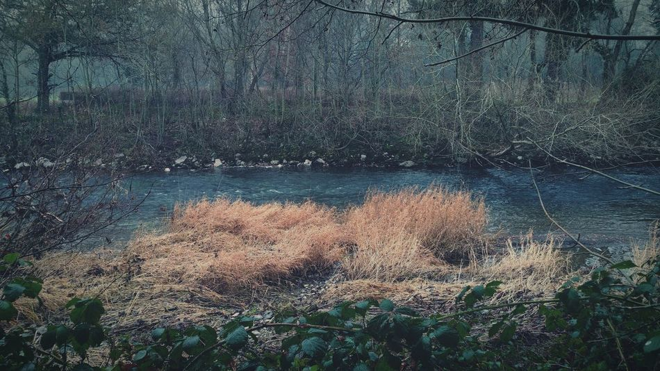 ... River Severn in Newtown Powys ... Hafren Sabrina Water River Dry Grass Grasses Park Town Brambles Leaves Winter Rio река трава парк город
