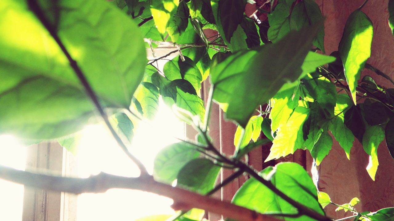 Leaf Green Color Growth Nature Plant Close-up Tree No People Beauty In Nature Outdoors Day Freshness Sunlight Sky Window Russia EyeEm Indoors  Indoors  Beauty In Nature Green Color Growth Nature Tree Branch
