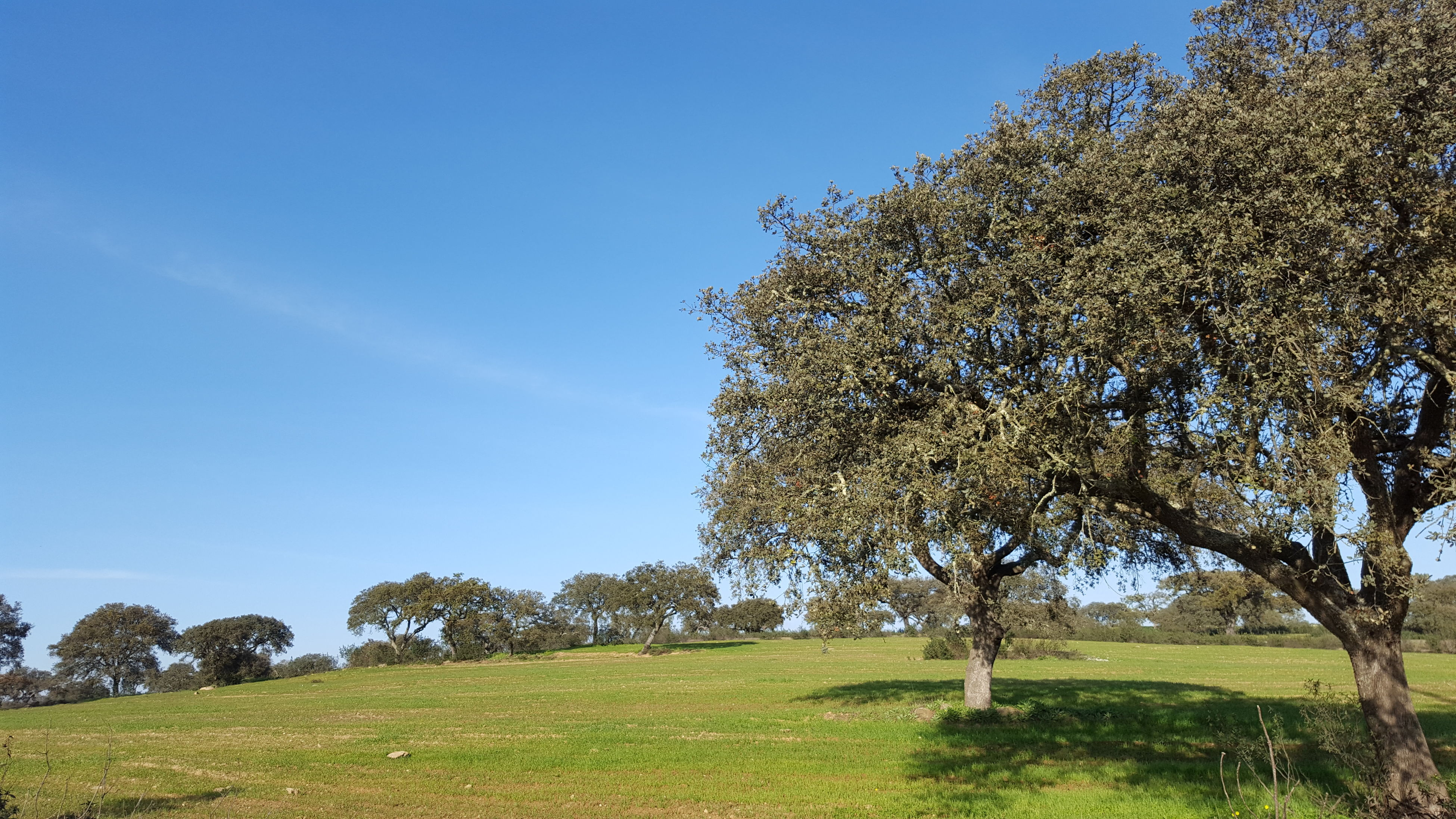 tree, growth, nature, clear sky, sky, beauty in nature, day, outdoors, no people, green color, grass