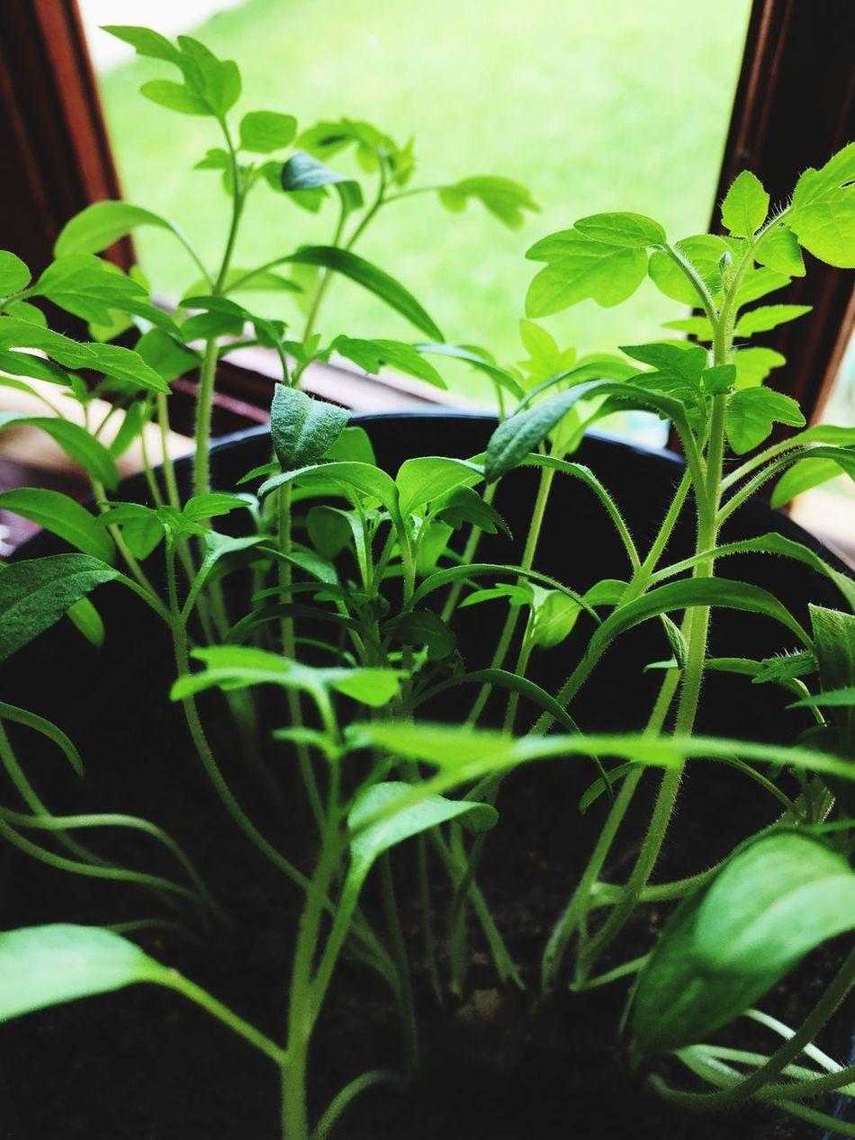 Tomatoes Seedlings Windowsill Gardening Sprouting Growing Plants Fruit Seedlings Vegetable Seedlings Green Leaves Delicate Growing Food