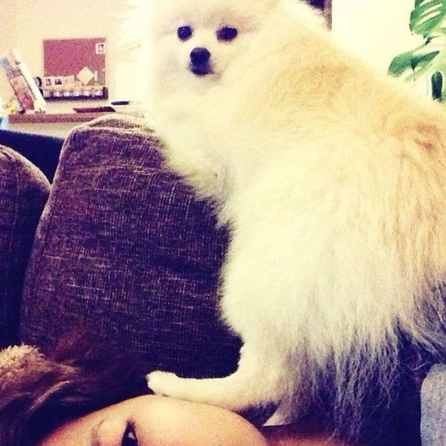 Korosuke Pomeranian I Love My Dog Heyyou