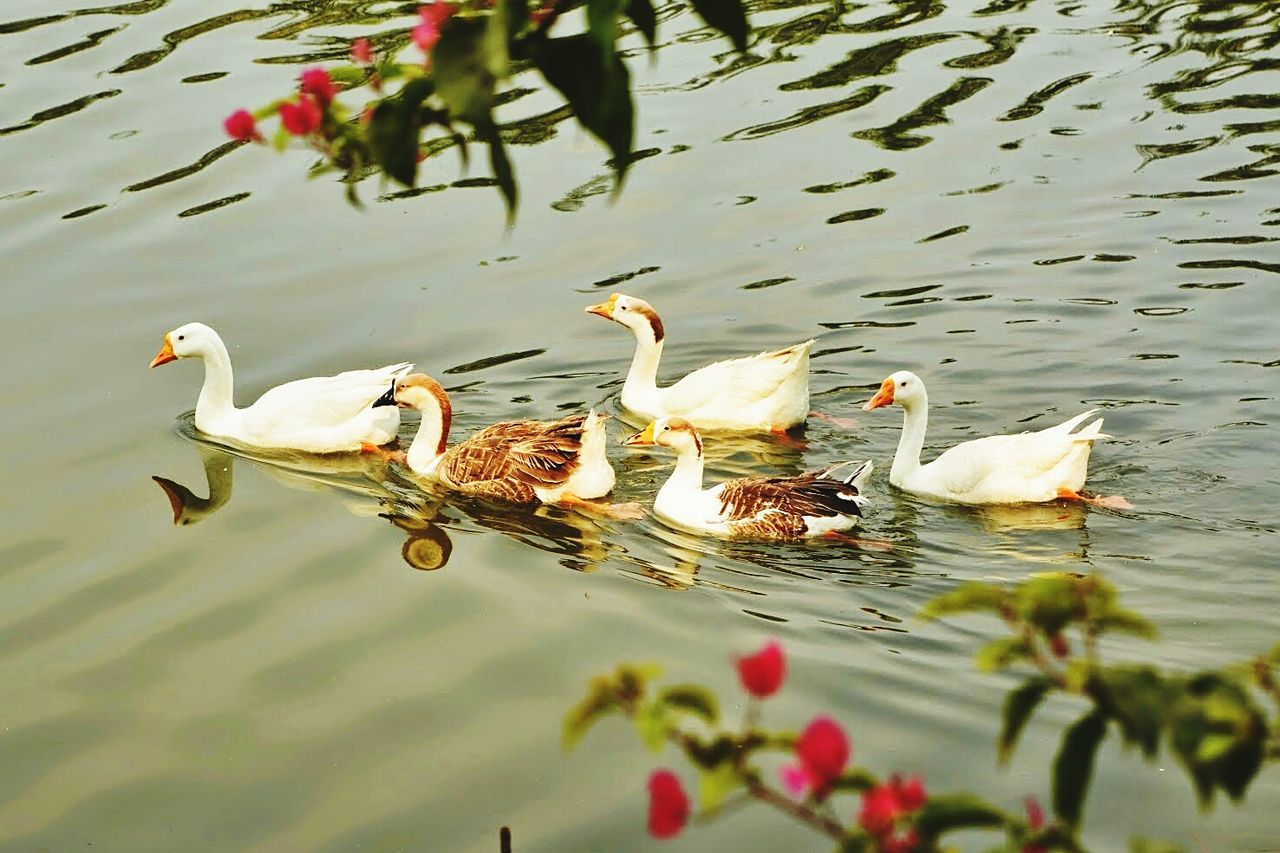animals in the wild, bird, animal wildlife, animal themes, water, lake, nature, water bird, reflection, swimming, day, no people, outdoors, goose, swan, beauty in nature