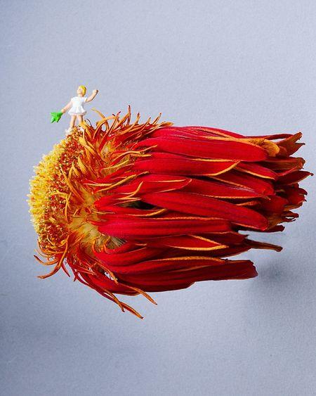 Flower Comet Child Flowercomet Miniature Miniatureworld Photography Chrizhvaneat Red
