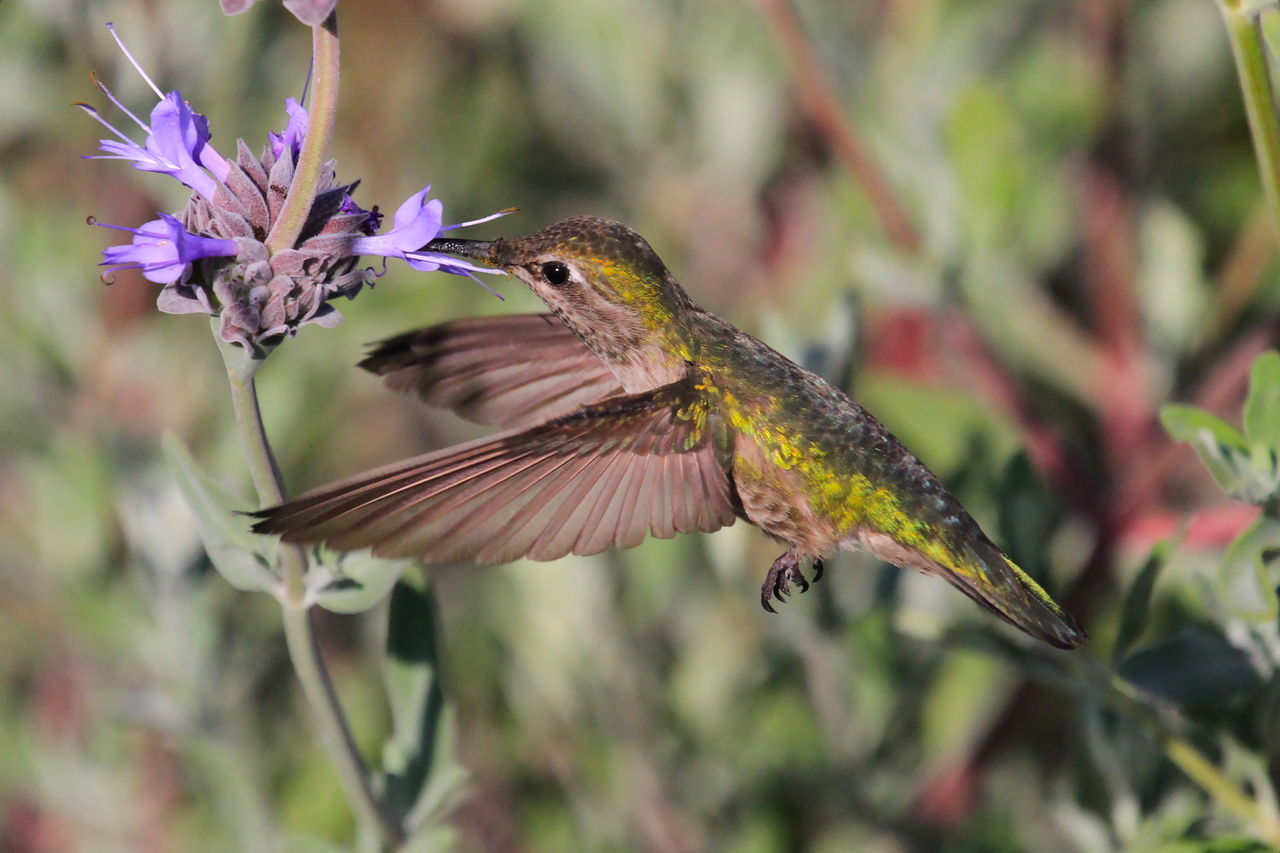 Beautiful stock photos of hummingbird, Animal Themes, Animals In The Wild, Bird, Close-Up