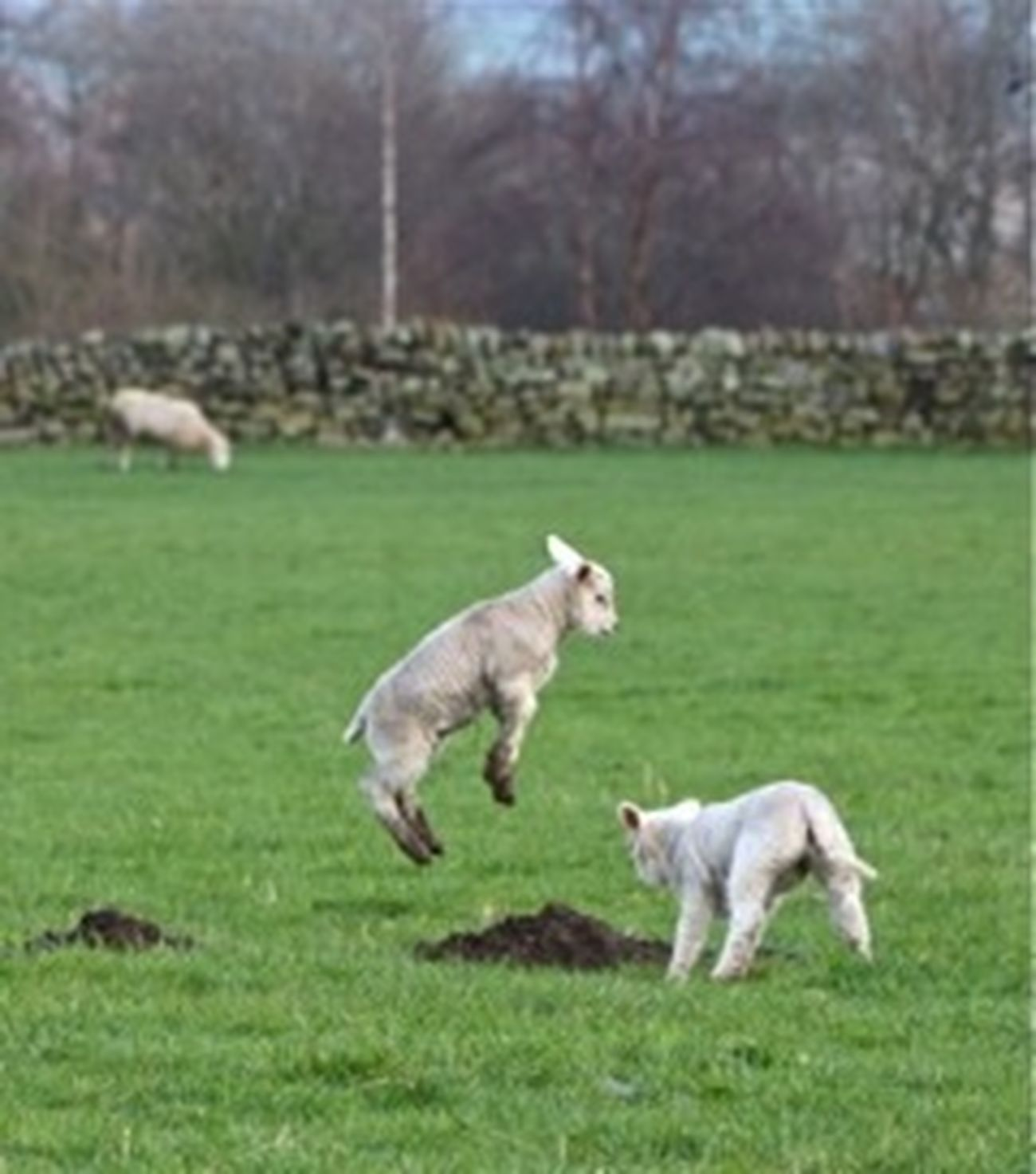 Domestic Animals Happy Joy Jumping Landscape Nature Sheep Spring Lamb's Young Animal