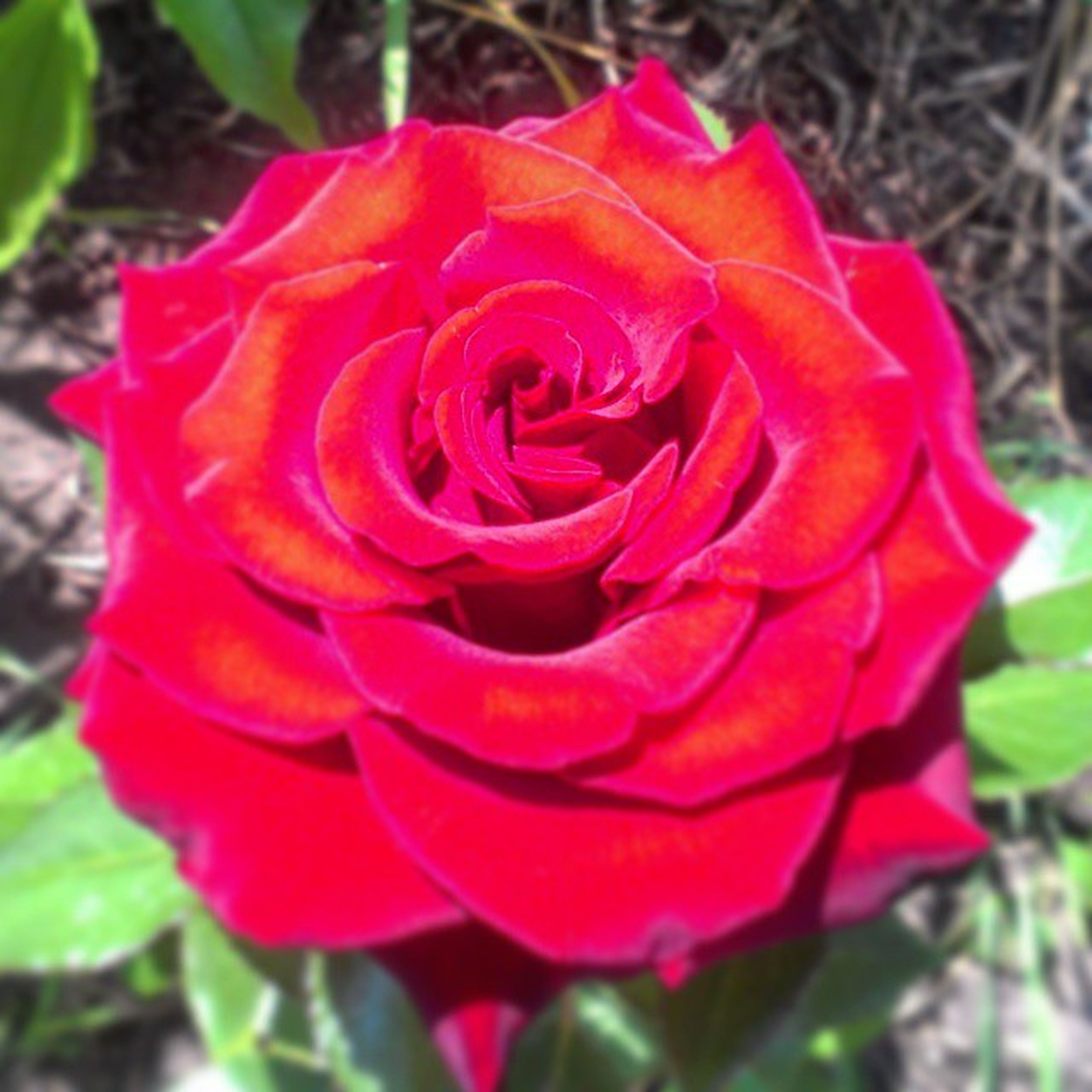 flower, petal, flower head, freshness, fragility, growth, close-up, beauty in nature, rose - flower, single flower, focus on foreground, red, blooming, nature, plant, in bloom, rose, day, outdoors, no people