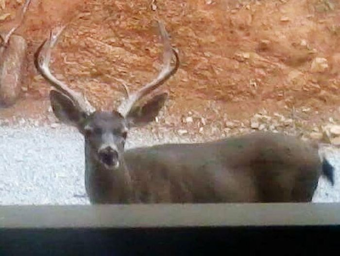 Pet Portraits , This Nice Buck Was My Previous For 5 Years That I Lived In Lakeland California
