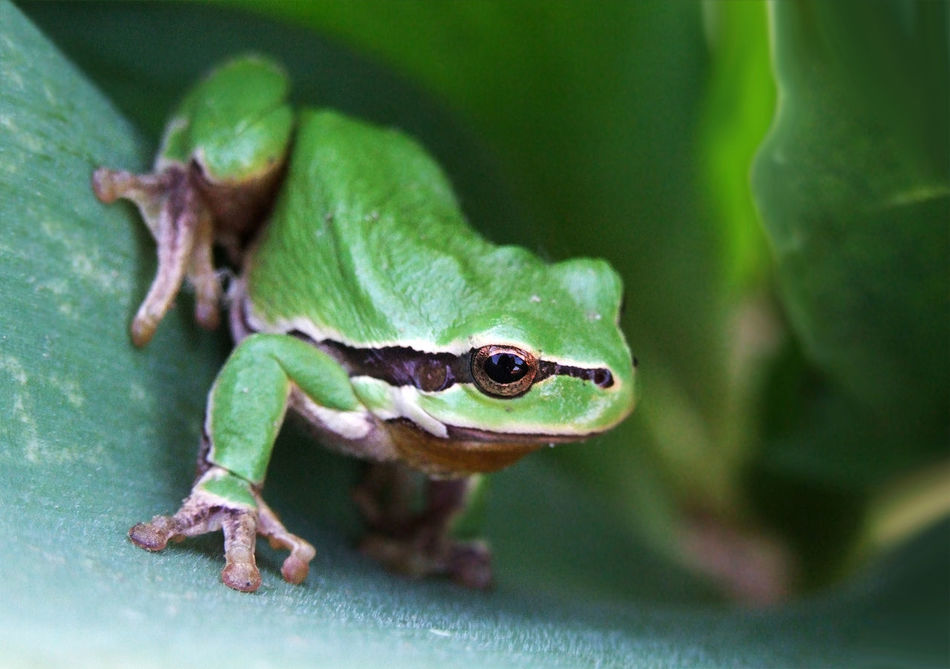 Alertness Animal Animal Themes Animals In The Wild Beginnings Close Up Close-up Curiosity Detail Focus On Foreground Frog Full Frame Green Color Leaf New Life No People One Animal Selective Focus Wildlife Zoology Market Bestsellers June 2016 Bestsellers
