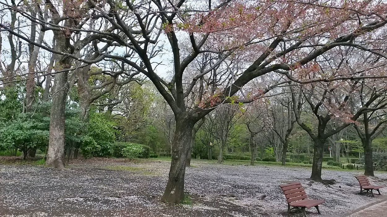 Tree Outdoors Park Park - Man Made Space Park Bench Park Trees Spring Day Spring Days Petals Petals Falling No People Trees Benches Benches & Branches White Petals Smartphonephotography Smartphone Photography Japan Tokyo Tokyo Park Atmospheric Travel Destinations Tranquility Tranquil Scene