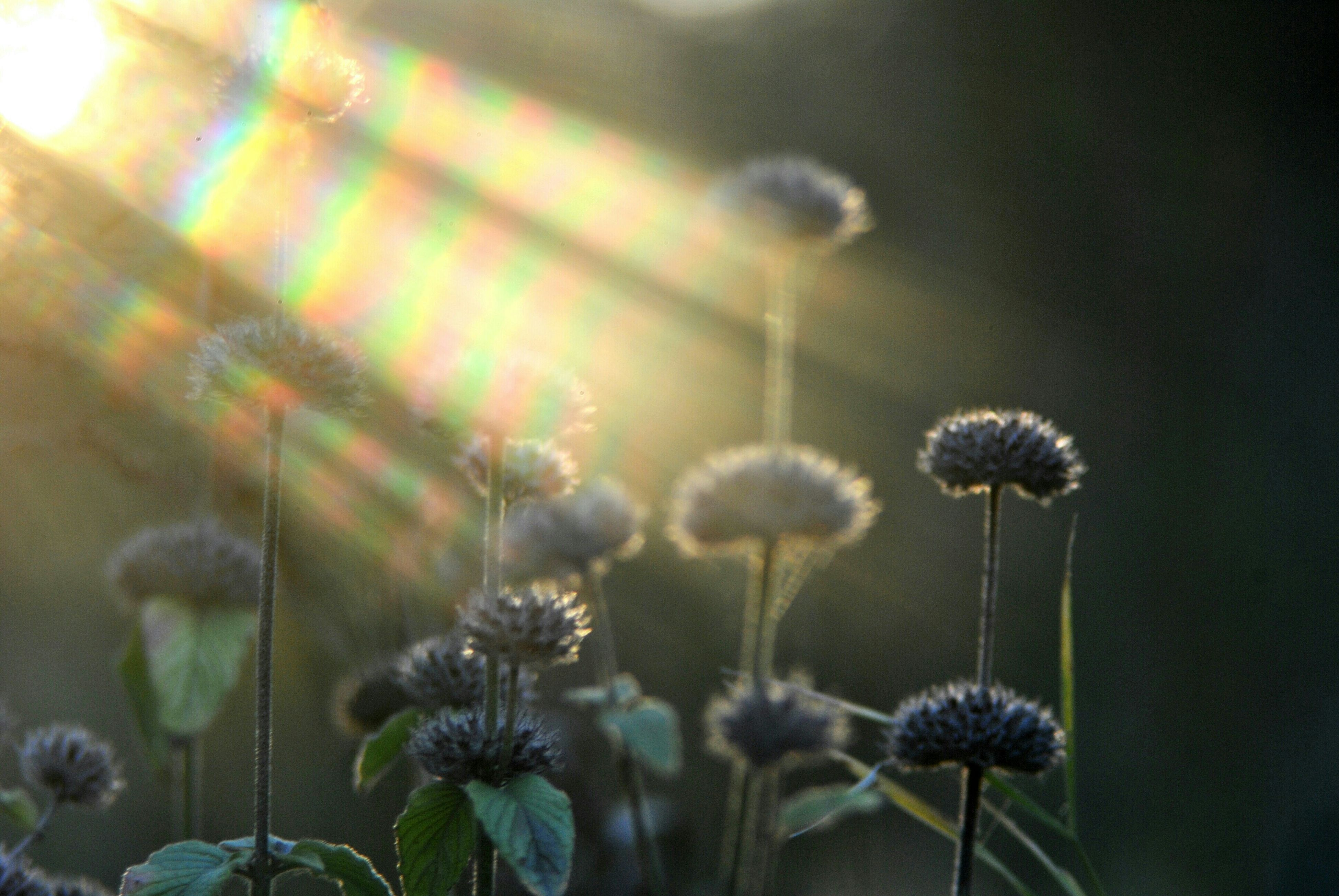 flower, growth, fragility, freshness, plant, stem, beauty in nature, nature, focus on foreground, flower head, close-up, dandelion, blooming, field, wildflower, in bloom, petal, uncultivated, outdoors, no people