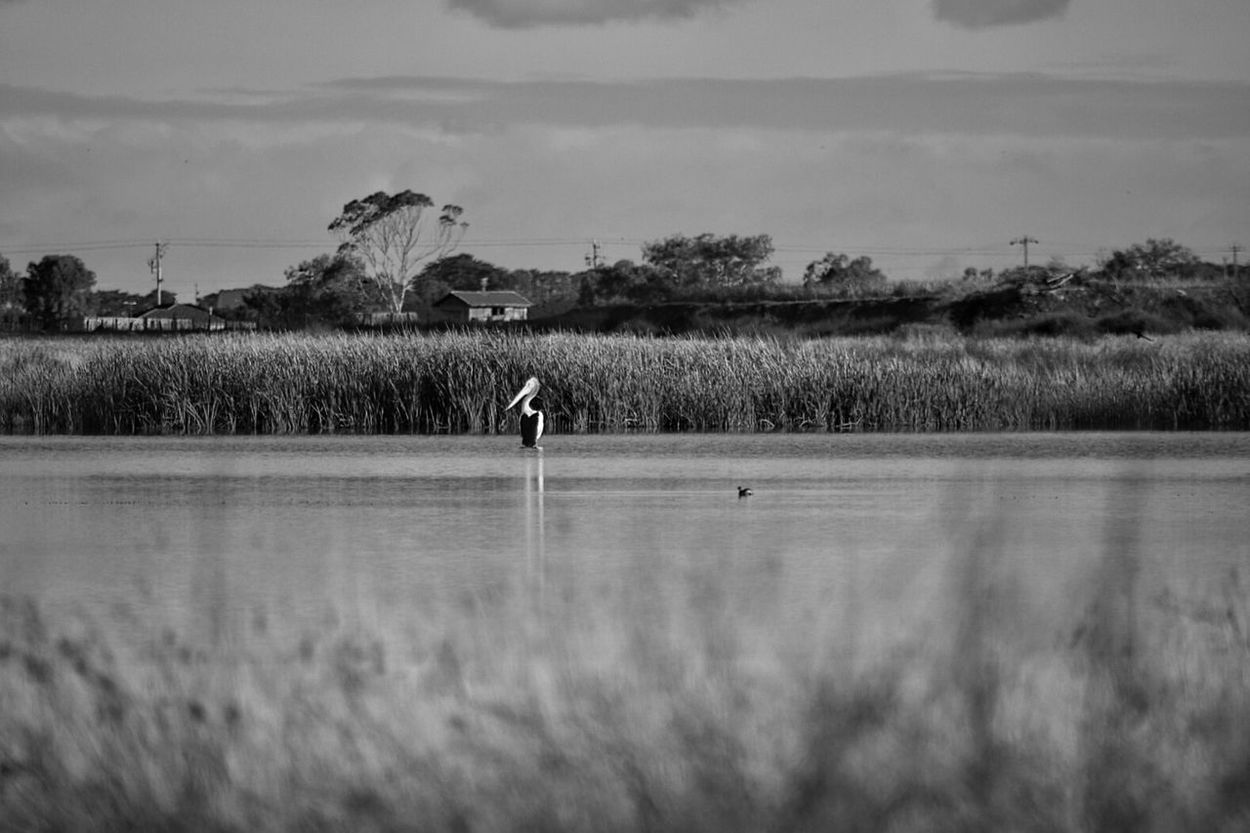 Pelican Lake View Lake Rushes Trees Horizon Over Land Skyline Bird Bird Photography Black And White Melbourne Australia Point Cook Horizon Monochrome Light On Water Bird On Lake Bird On Water Showcase June Fine Art Photography
