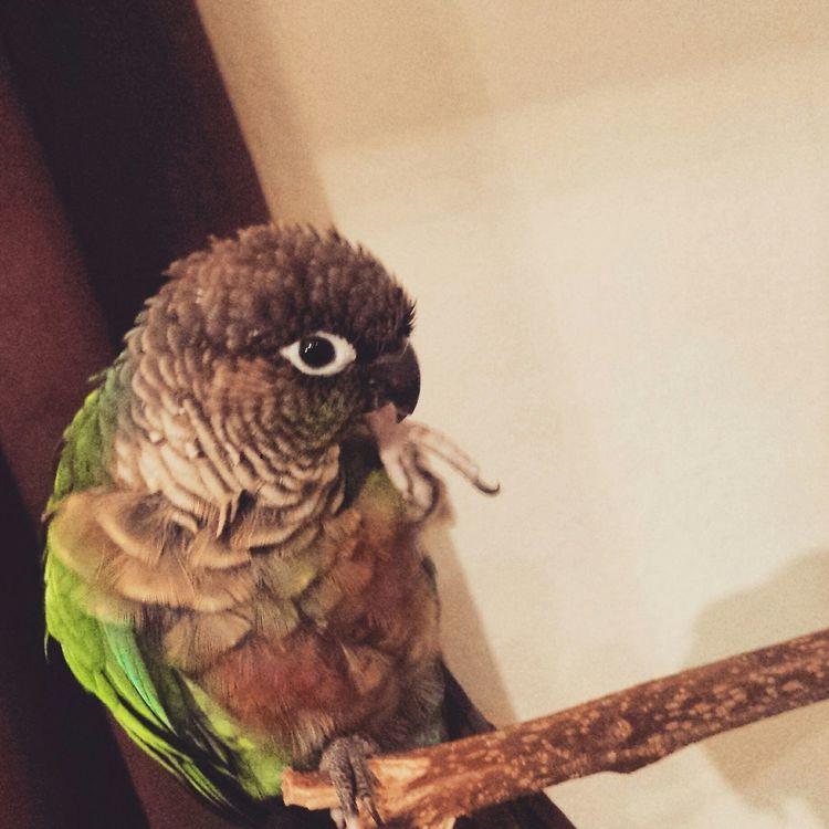 Everyday Joy Hello World Taking Photos Beautiful Green Cheek Conure Pretty Bird