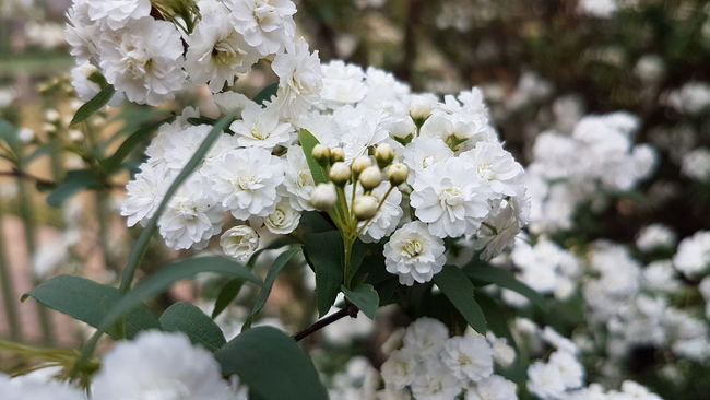 Flower Freshness Fragility Growth Petal Close-up Beauty In Nature Springtime Focus On Foreground White Color In Bloom Blossom Flower Head Plant Nature Bunch Of Flowers Botany Day New Life Bloom