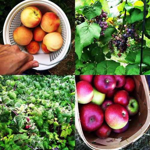 Our spoils from the U-Pick farm down the road. Had to fight some honey bees and wasps, but well worth it.
