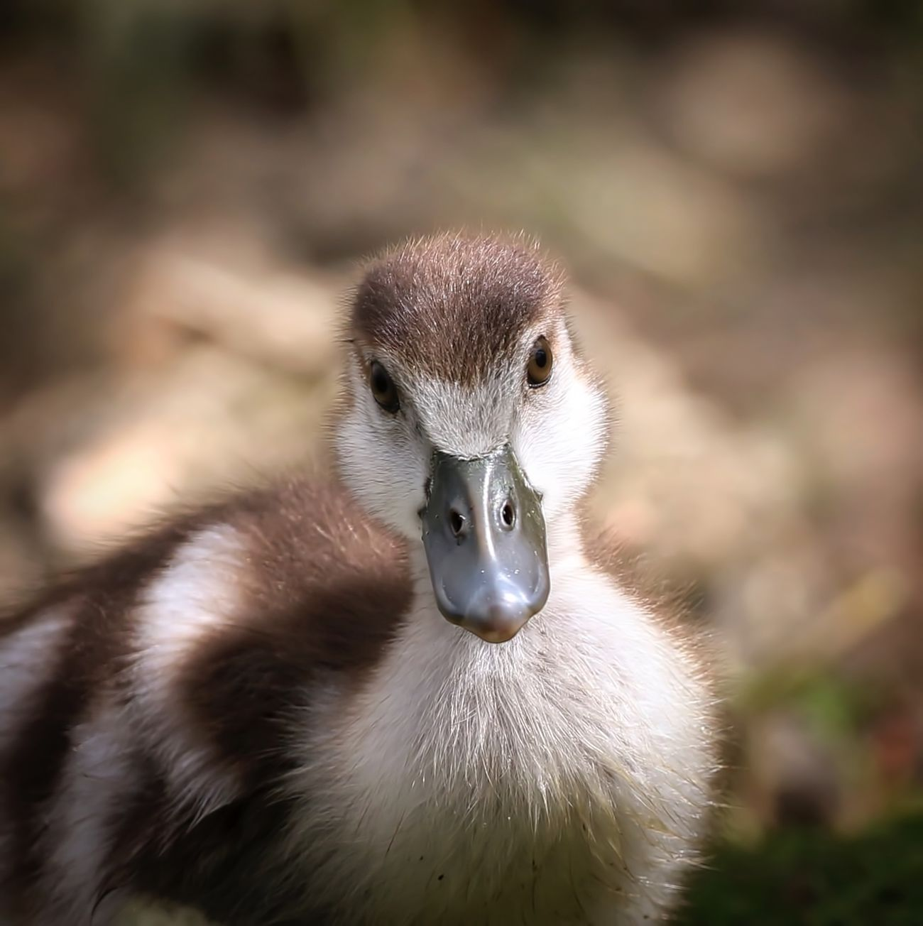 Egyptian Gosling Animal Themes Animals In The Wild Beak Bird Close-up Day Gosling Nature No People One Animal Outdoors Swan Young Animal Young Bird