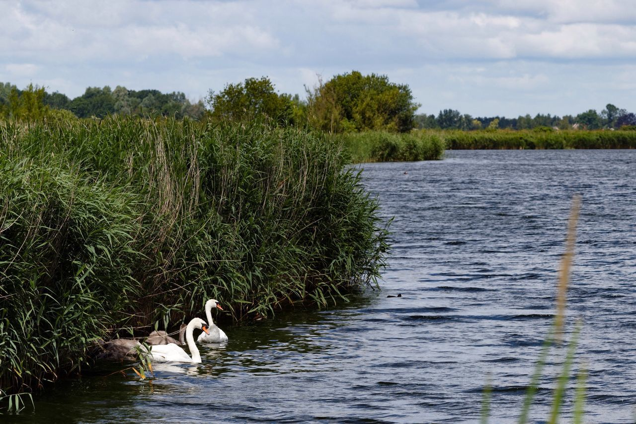 Swan Family Waterscape Reeds Clouds And Sky Summertime