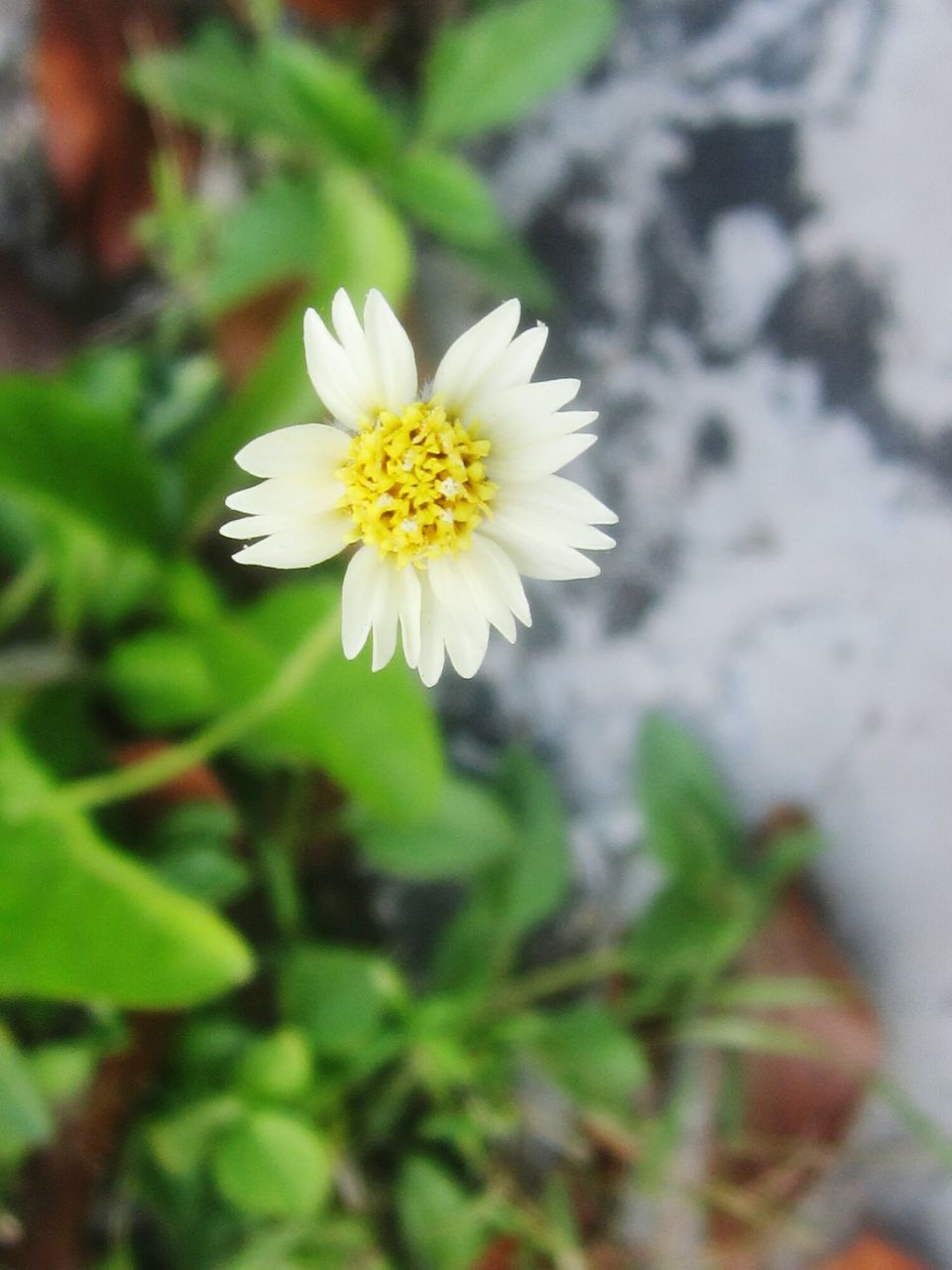 CLOSE-UP OF FRESH WHITE DAISY FLOWER