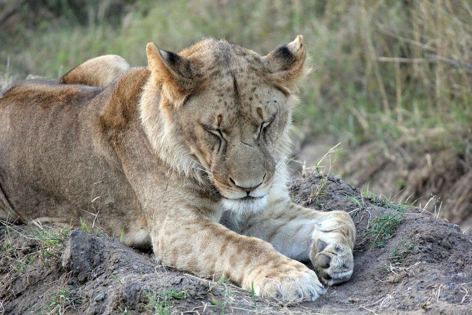 Beautiful stock photos of löwe, Animal Themes, Animal Wildlife, Animals In The Wild, Day
