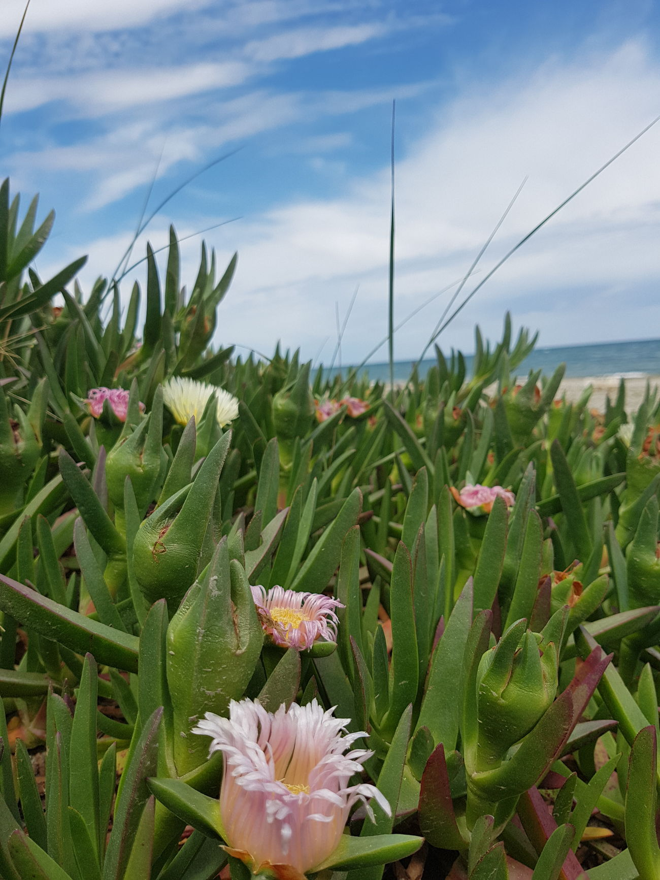 Sea Flower Plant Growth Nature Cloud - Sky Flower Head Sky Beauty In Nature Landscape