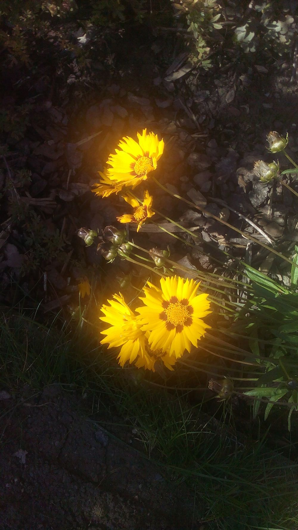 I love the colors... Beautiful Day Yellow Flower Sunshineyellow Bright Colors Photography Naturelovers Nature On Your Doorstep Flowers