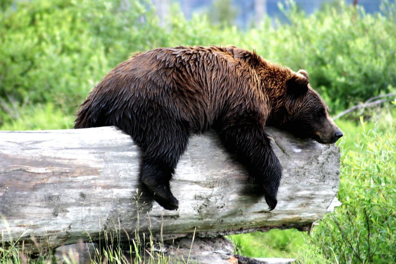 Sleeping Grizzly Bear. Travel Photography Outdoors Wildlife Landscape Nature Grizzly Bear Naturesdiversities