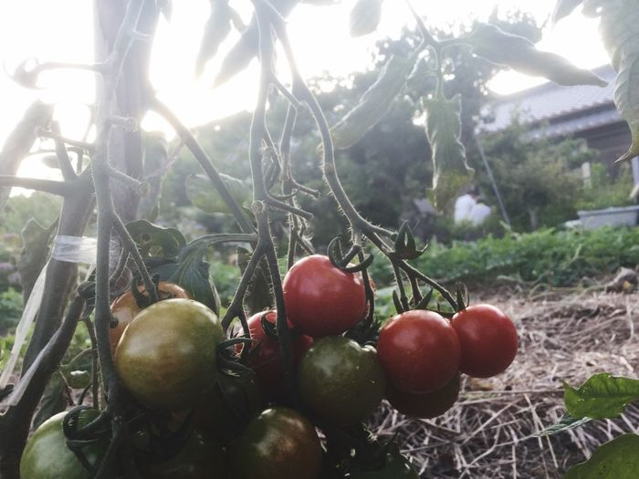 Food And Drink Healthy Eating Food Fruit トマト 畑 Outdoors Beauty In Nature