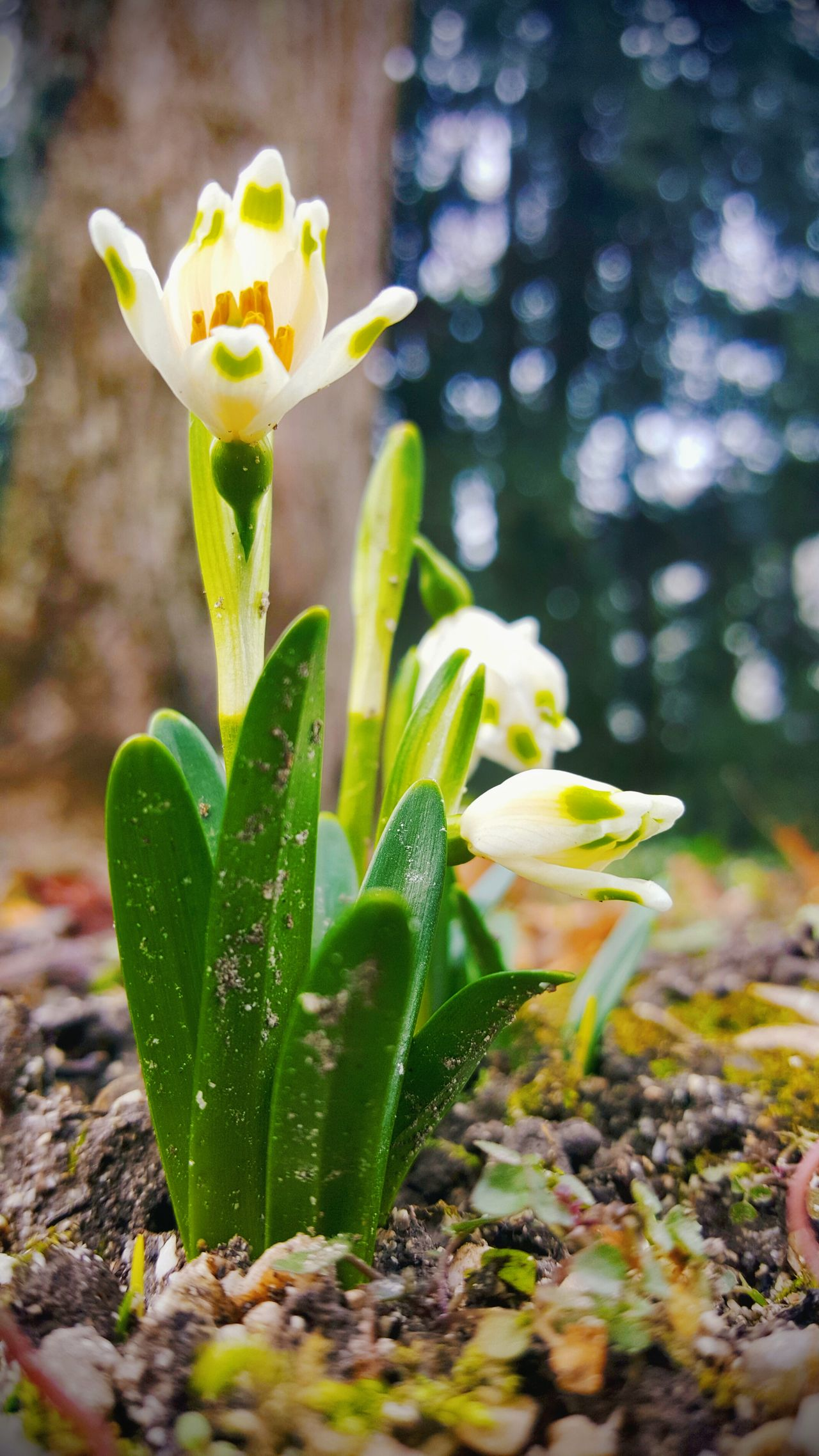 Growth Nature Plant Flower Beauty In Nature Fragility Focus On Foreground Close-up Leaf Green Color Freshness No People Flower Head Day Outdoors Leucojum Leucojum Vernum Märzenbecher Amaryllis