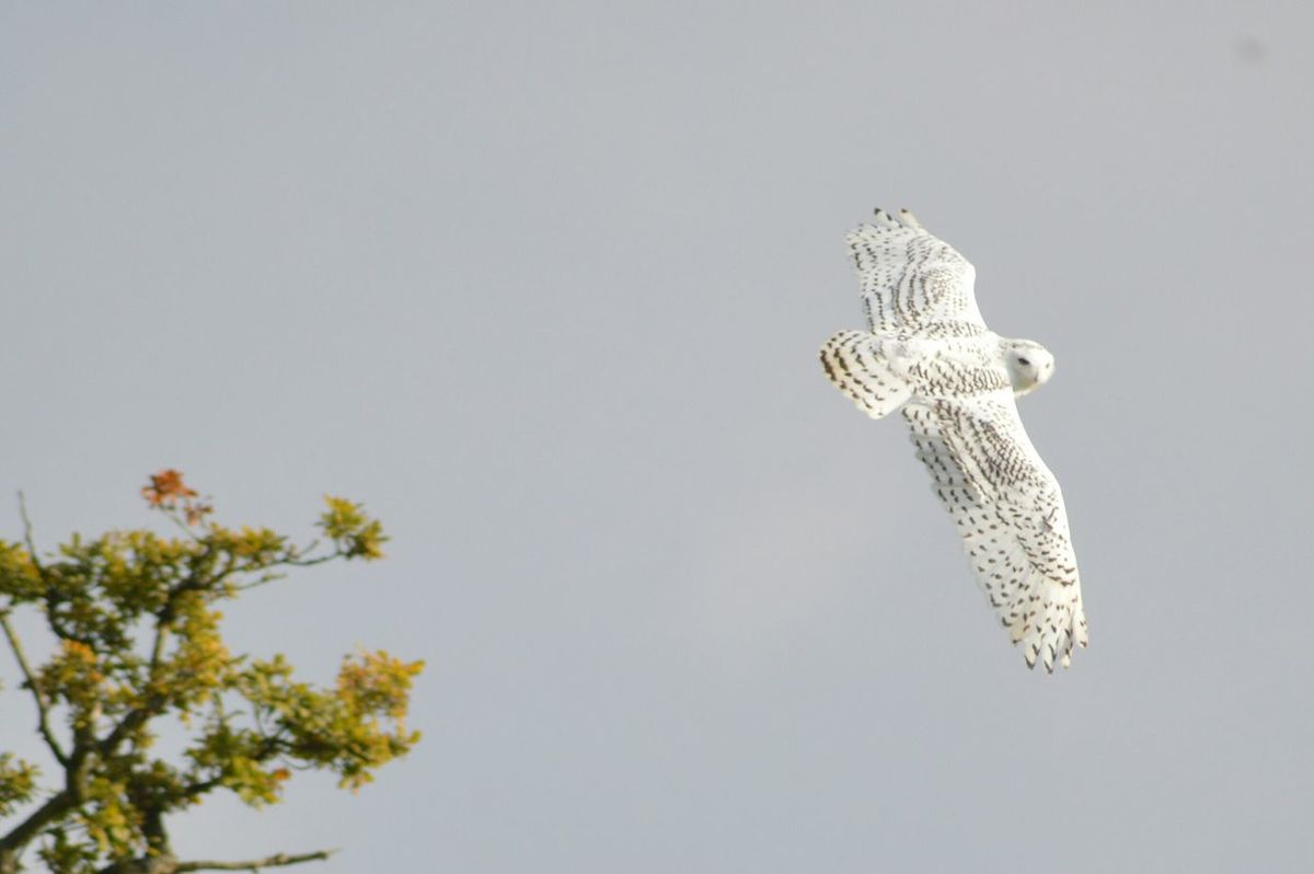 Animal Wildlife Nature Bird Outdoors Nature Photography Cotswold Falconry Centre Falconry Display No Filter No Edit Just Photography Capturing Movement Birds In Flight Spread Wings Flying Snowy Owl Owl Owl In Flight. Soaring Beauty In Nature No Filter, No Edit, Just Photography Nikonphotography