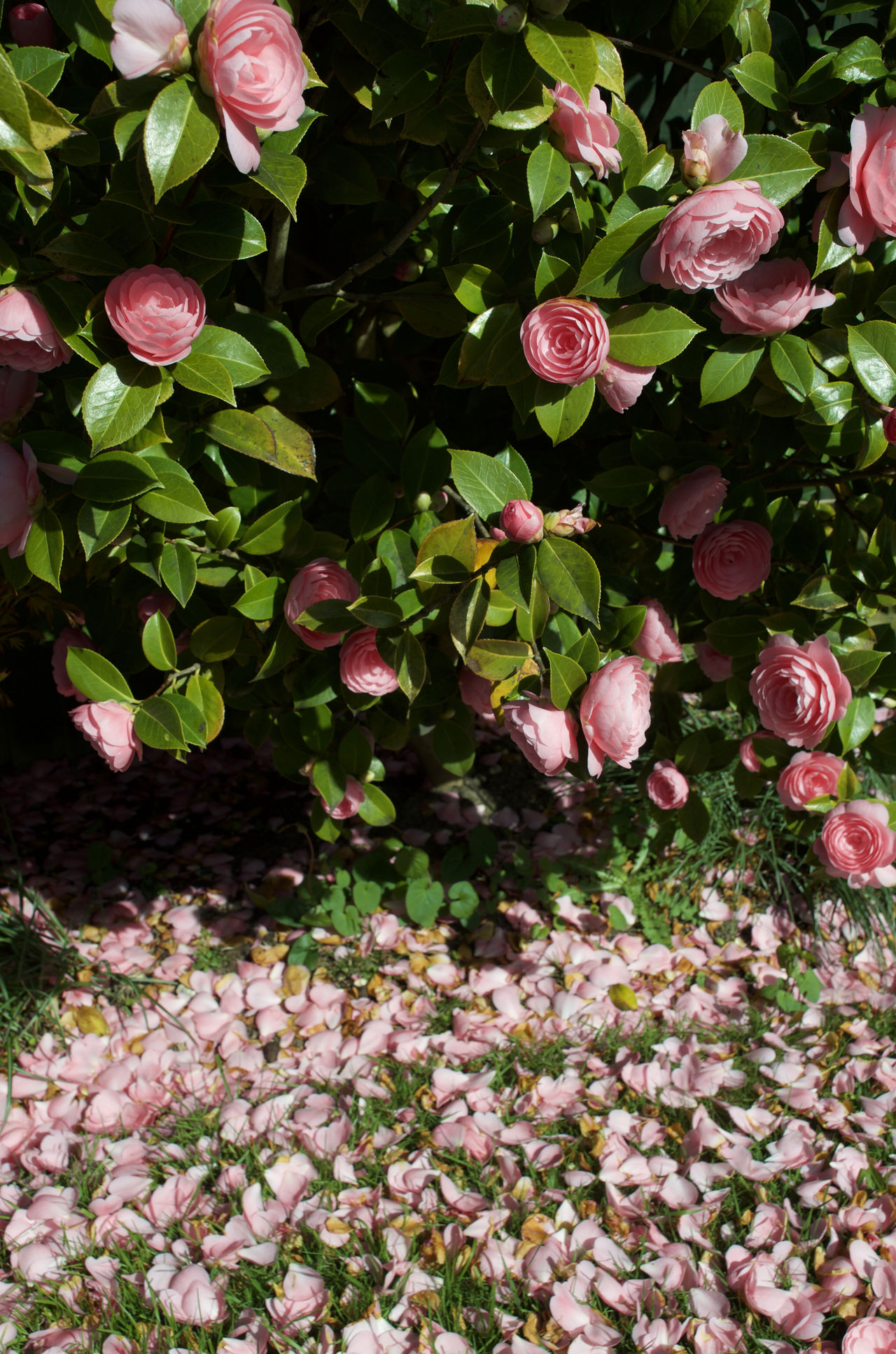 Pink Camellia and dropped petals Beauty In Nature Camellia Close-up Day Flower Flower Head Fragility Freshness Growth Leaf Nature No People Outdoors Petal Pink Color Pink Flower Plant Millennial Pink