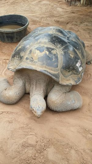 World's oldest Galapagos tortoise at the toledo zoo . He's over 100 yrs old.