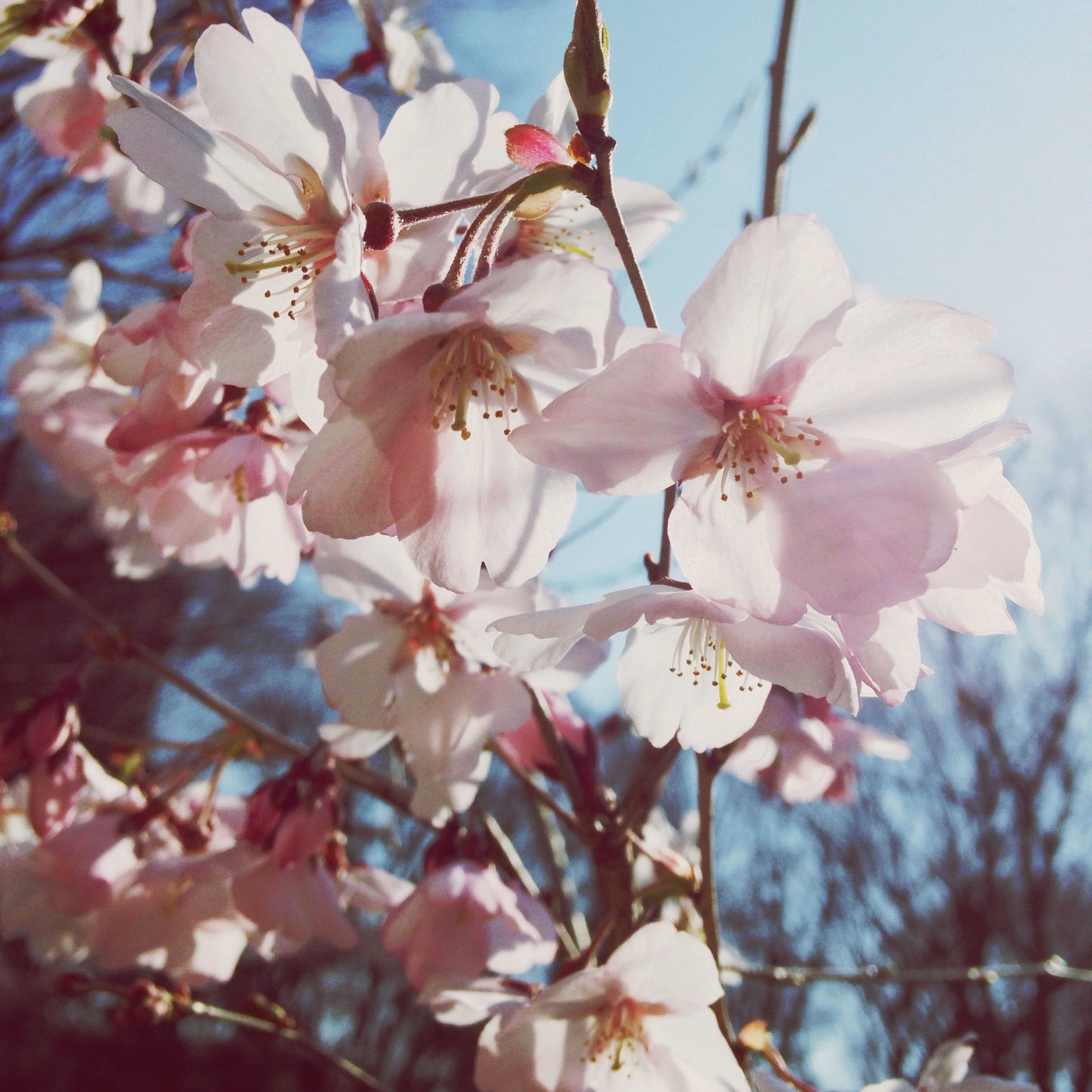 flower, freshness, fragility, growth, branch, cherry blossom, beauty in nature, petal, tree, blossom, cherry tree, nature, low angle view, in bloom, close-up, focus on foreground, blooming, pink color, fruit tree, twig