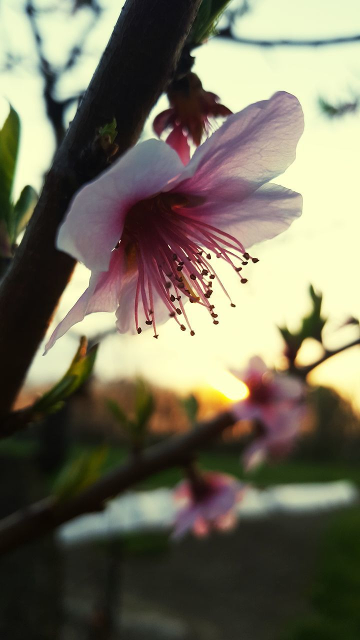 flower, beauty in nature, petal, nature, fragility, freshness, growth, flower head, focus on foreground, pink color, outdoors, blossom, plant, purple, close-up, no people, sunset, blooming, springtime, day, water, tree