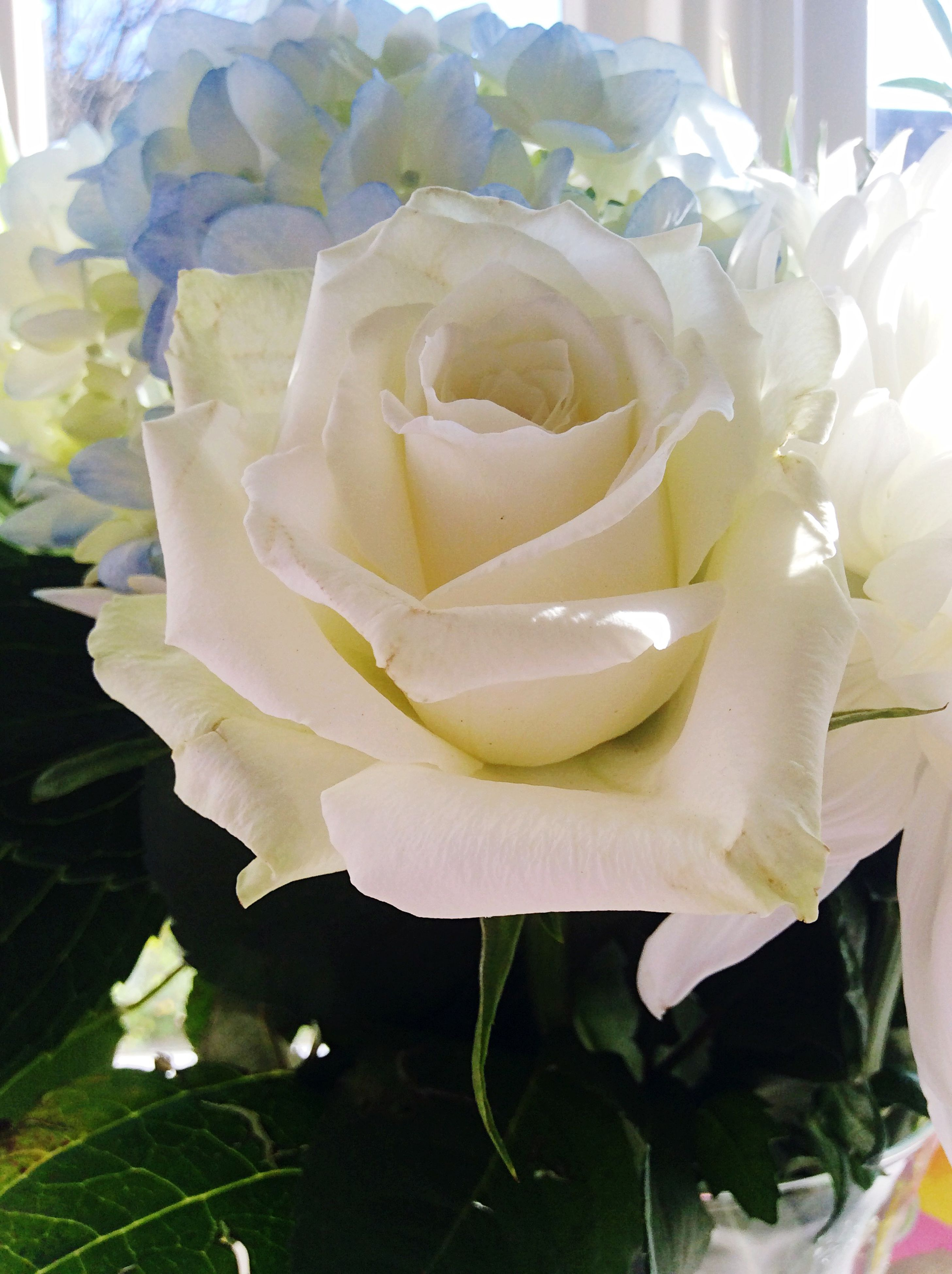 flower, petal, freshness, flower head, fragility, rose - flower, beauty in nature, close-up, growth, blooming, nature, plant, white color, single flower, rose, in bloom, leaf, focus on foreground, single rose, no people