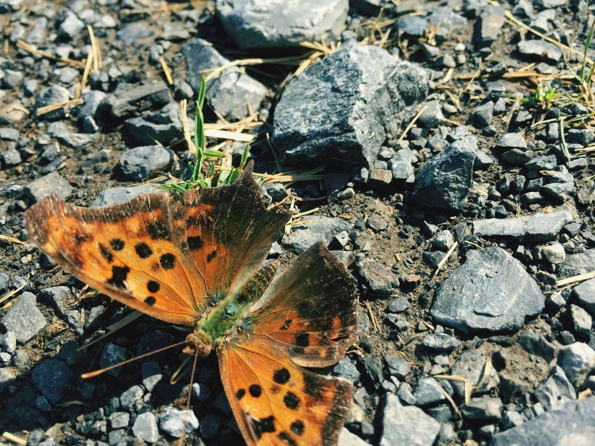 Butterfly or Moth 😝 Polygonia Comma Polygonia C-album Polygonia Comma Butterfly