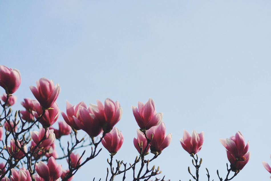 Beautiful stock photos of magnolia, Beauty In Nature, Blooming, Blossoming, Bound