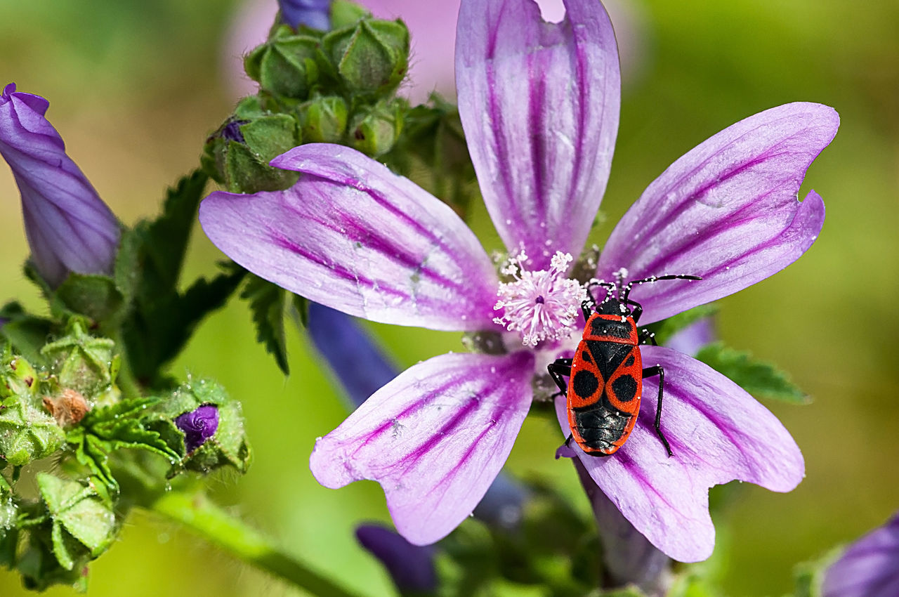 Pyrrhocoris Apterus Beauty In Nature Blooming Botany Close-up Flower Flower Head Focus On Foreground Fragility Freshness Growth In Bloom Insect Nature Outdoors Petal Plant Pollen Pollination Purple Pyrrhocoris Apterus Selective Focus Stinkbug