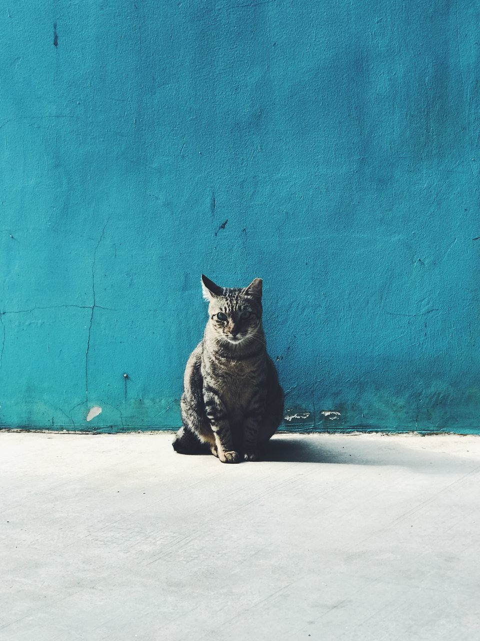 Portrait Of Tabby Cat Sitting Against Blue Wall