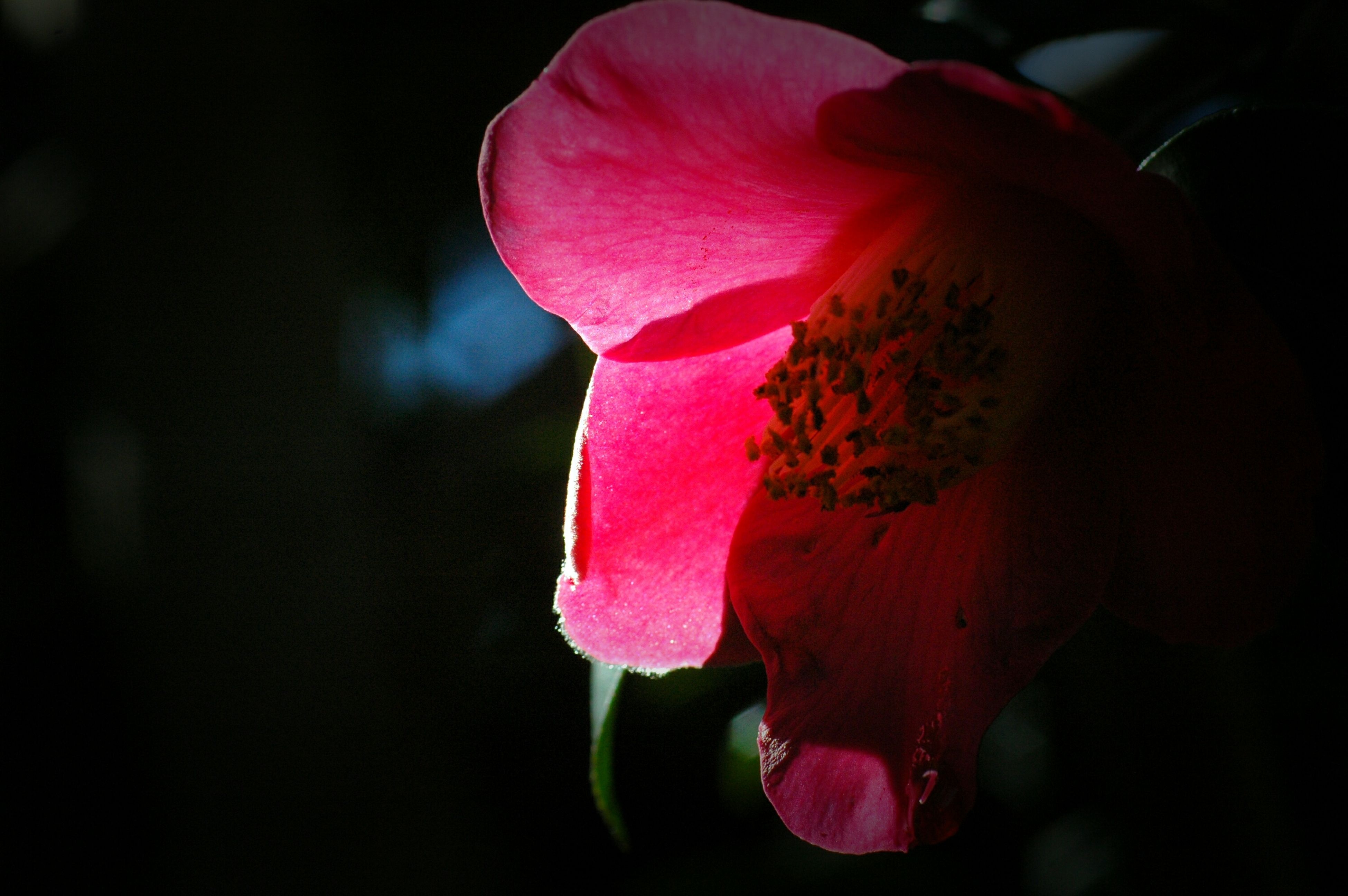 flower, petal, flower head, fragility, focus on foreground, freshness, close-up, pink color, beauty in nature, single flower, red, nature, growth, blooming, plant, selective focus, outdoors, in bloom, stem, day