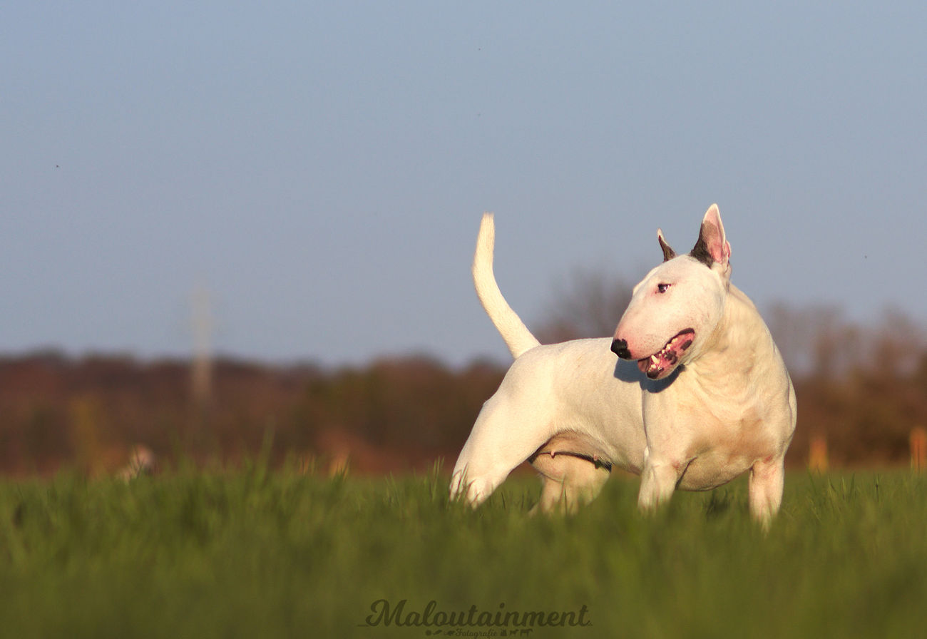 Tongue Out Tongueout Tongue ZUNGE Dog Hund Portrait Bullterrier Hannover Celle Hund Hundefotografie Dog Photography Porträt Outdoors