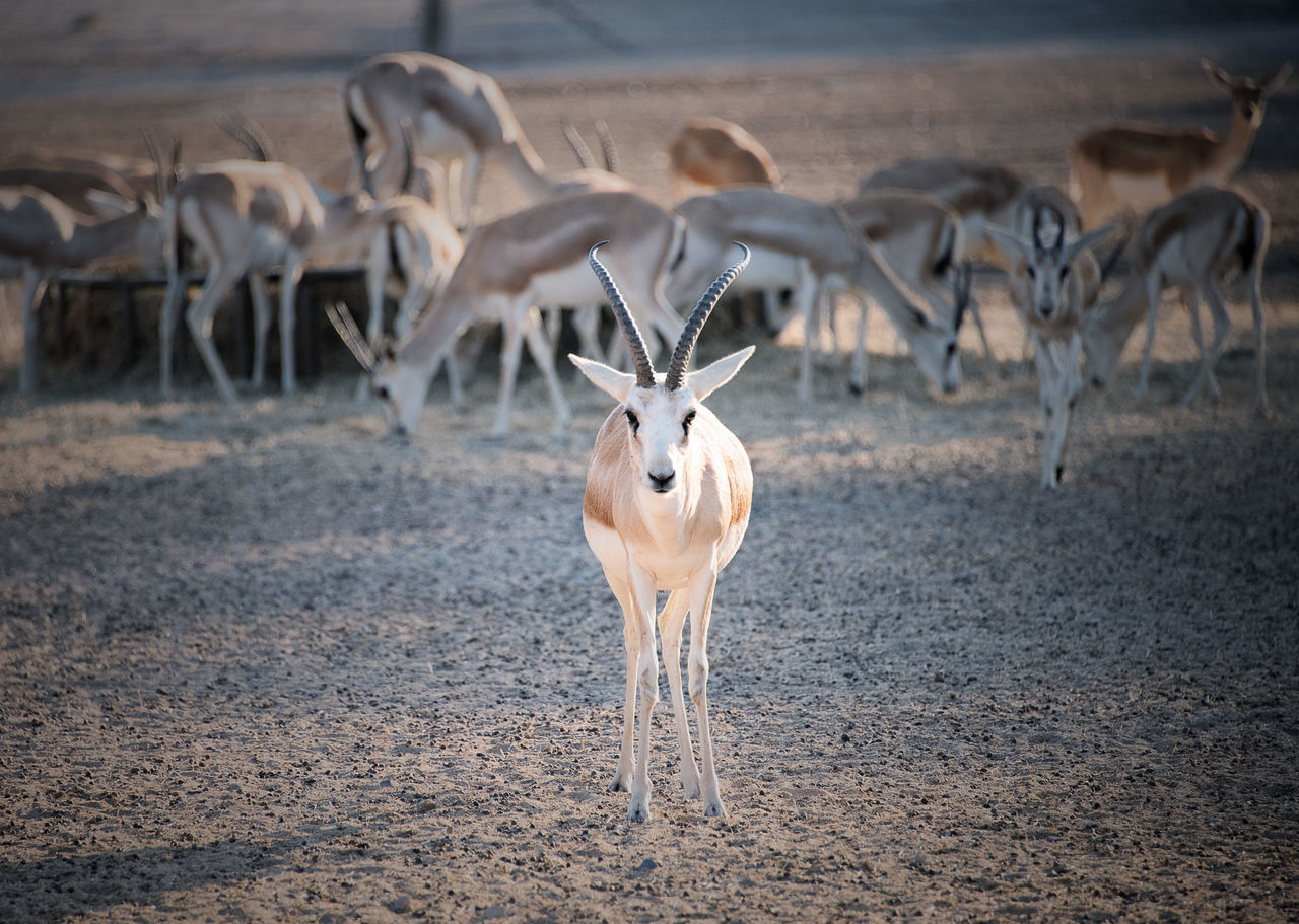 Sand Gazelle in Anantara Desert Island Resort and Spa Abu Dhabi Abu Dhabi UAE Abudhabi Anantara Anantara Desert Island Anantara Hotel Anantara Resort Animals In The Wild Gazelle Nature Sand Gazelle Uae,abudhabi Wildlife Wildlife & Nature