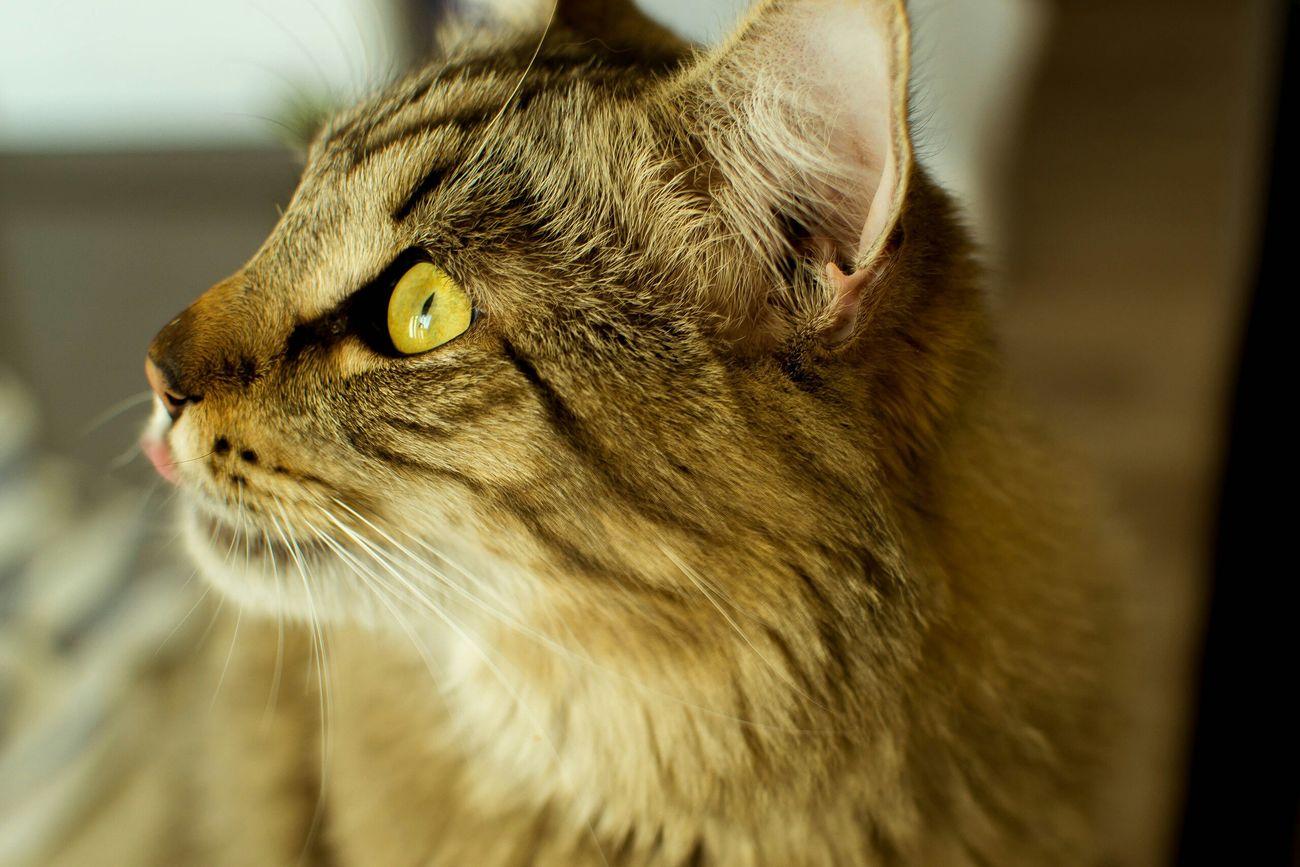 Mortimer fotobyForbik© Mortimer Pet Cat Meow Cat Lovers Animals